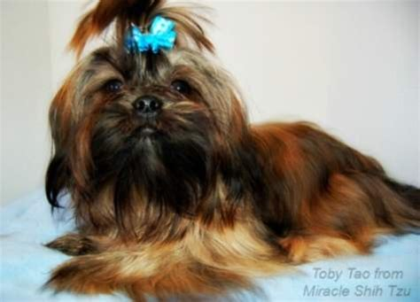 shih tzu brindle shih tzu coat colors