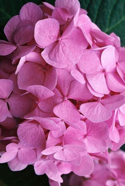 chagne pink color changing the color of hydrangeas
