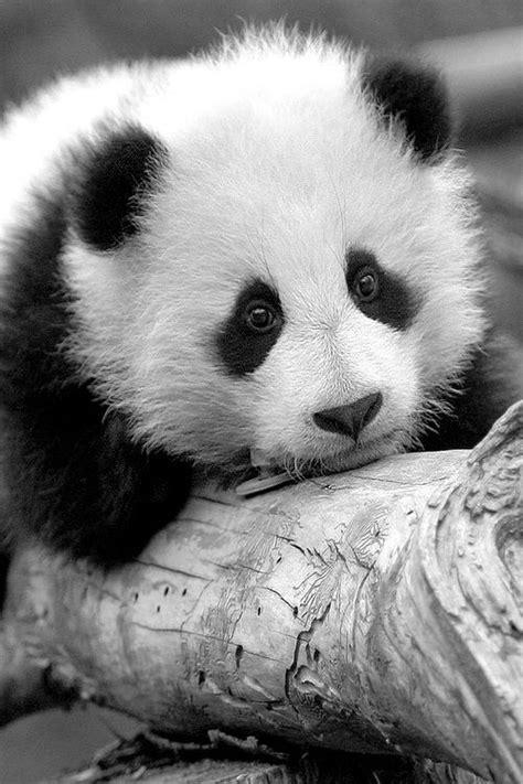 60 Cutest Panda Moments Ever Captured | Baby panda bears