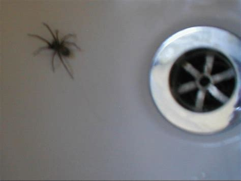 spider in bathroom random perspective spider in the bath