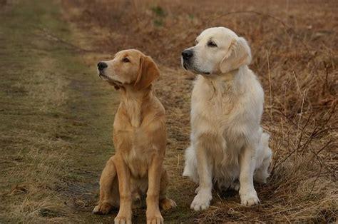boca golden retrievers caracter 237 sticas golden retriever razas de perros grandes