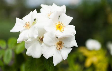 musk roses beautiful flowers   sweetest smell
