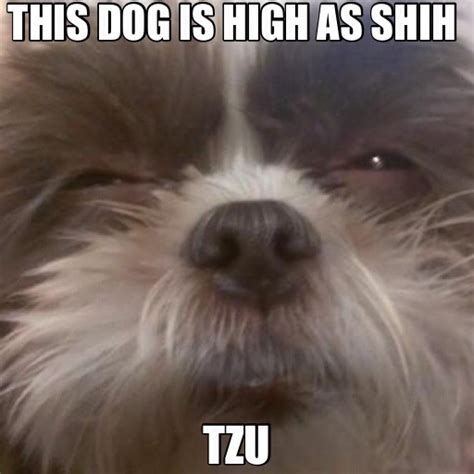 fun shih tzu haircuts poodle forum standard poodle fun shih tzu haircuts poodle forum standard poodle fun