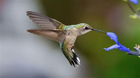 kolibri hummingbirds hd 4673 full hd wallpaper desktop