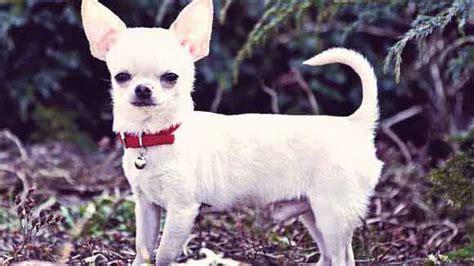 hookworm treatment dogs hookworm in dogs treatment