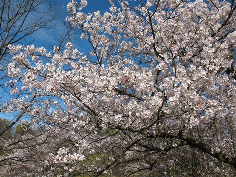 high park cherry trees