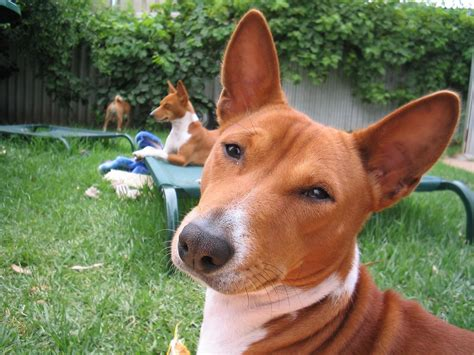 basenji dogs basenji breed dogs resting in the yard wallpapers and images wallpapers pictures