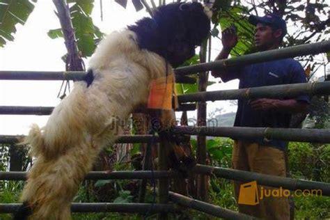 Jual Bibit Kambing Di Bogor di jual 3 kambing peranakan etawa pe kepala hitam untuk
