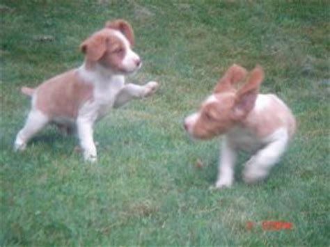 puppies for sale in plattsburgh ny spaniel puppies for sale