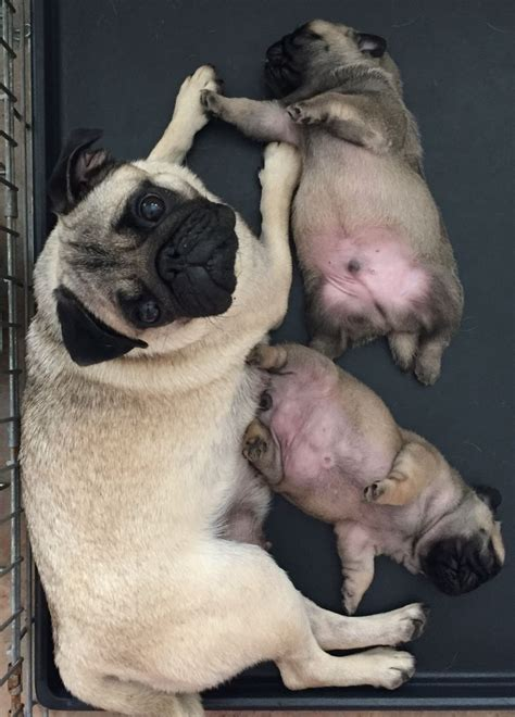 looking for a pug puppy pug puppy looking for a loving home salford greater manchester pets4homes