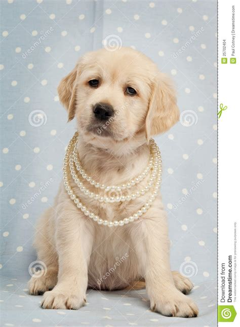 spotted golden retriever golden retriever puppy stock images image 25702404