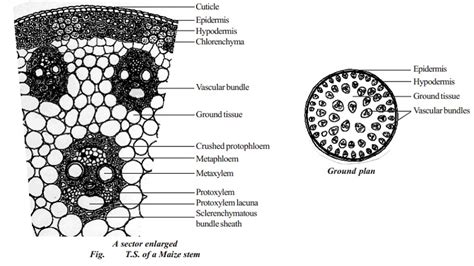 transverse section of a monocot leaf primary structure of monocot stem maize stem study