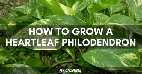 heartleaf philodendron care growing  sweetheart plant