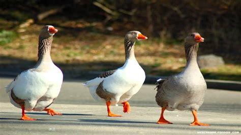 alimento para patos domesticos imagenes de los patos newhairstylesformen2014