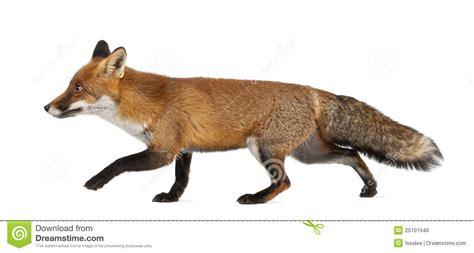 imagenes de paisajes con zorros zorro rojo vulpes del vulpes 4 a 241 os recorriendo foto de