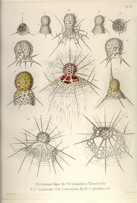 art forms in nature 3791319906 ernst haeckel die radiolarien 1862