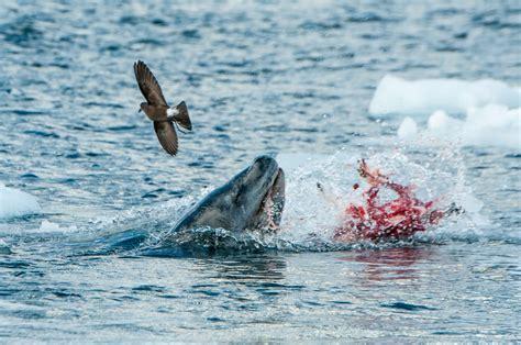 Salmon Shower Curtain Leopard Seal Apathetic Aperture