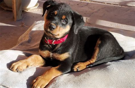 best rottweiler names names for rottweiler breeds picture