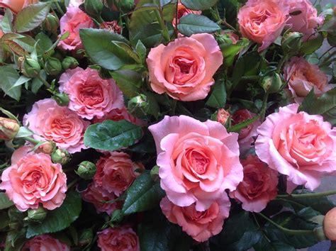 Garden Roses by Garden Roses Neve Bros Inc Grower Wholesaler