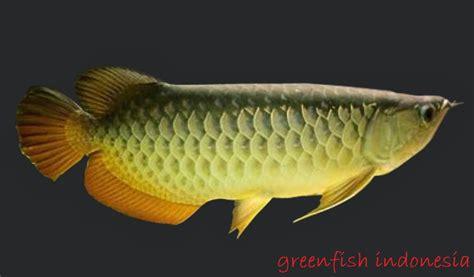 Harga Bibit Arwana Golden arwana golden profil ciri ciri harga dan cara