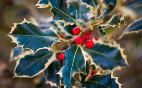holly leaves christmas  wallpaper high definition high quality widescreen