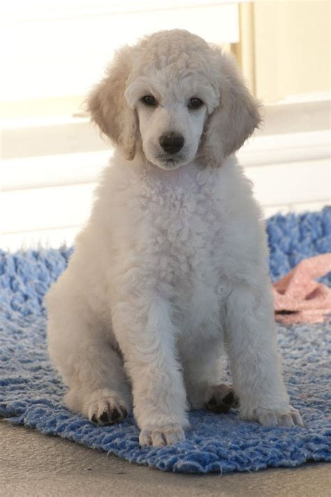 white poodle puppies white standard poodle puppies white standard poodle puppy tim and simple things