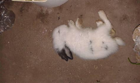 Anakan Kelinci Bulu Karpet kesehatan kebun kelinci madiun