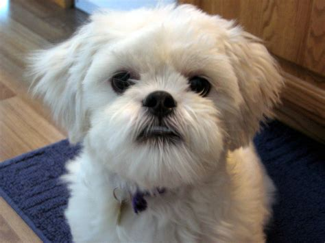 how to lhasa apso lhasa apso breed 187 information pictures more