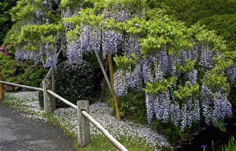 wisteria can take many years to bloom