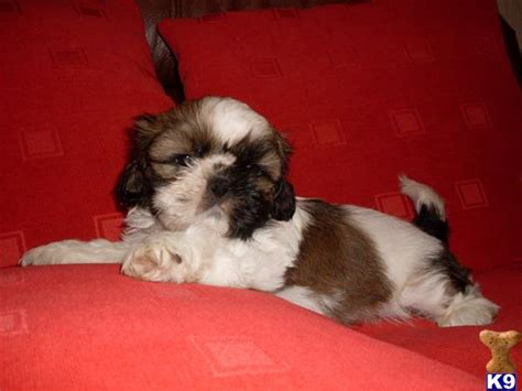 cheap shih tzu puppies for sale cheap shih tzu puppies for sale in illinois