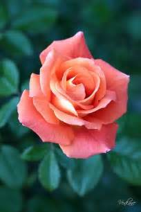 Wedding Flowers Names Best 25 Peach Rose Ideas On Pinterest Roses Orange Roses And Orange Flower Pictures