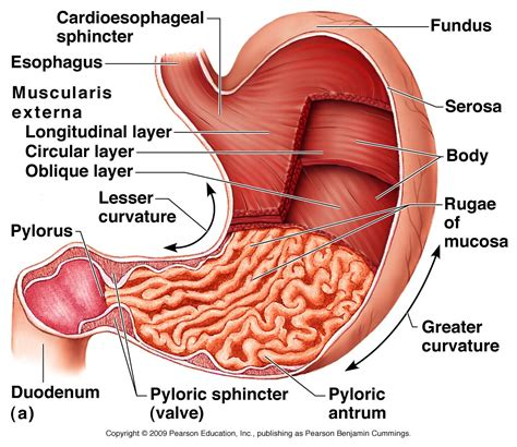 diagram of stomach and esophagus digestive system
