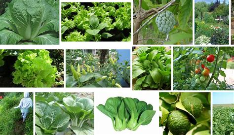 Tanaman Buah Sayur Terong tanaman rumahan yang bermanfaat tanaman sayur sayuran dan buah ditanam dirumah