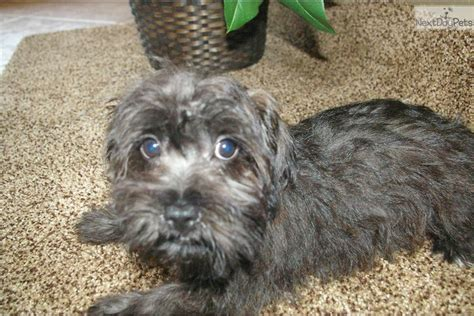yorkie poo for sale jacksonville fl chocolate silver hair brown hairs