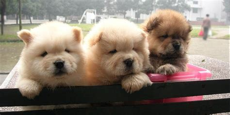 chow puppy chow chow information characteristics facts names