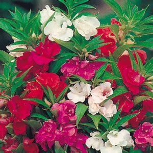 Bibit Benih Bunga Balsam Mawar Balsam 3 bibit bunga balsam