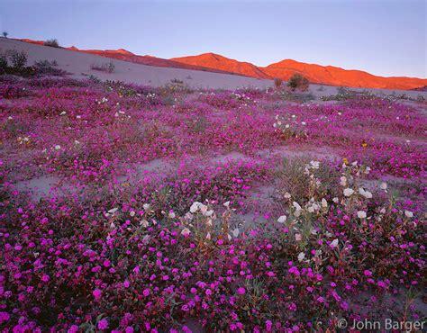 borrego desert flowers cadab 116 desert wildflowers verbena and primrose in