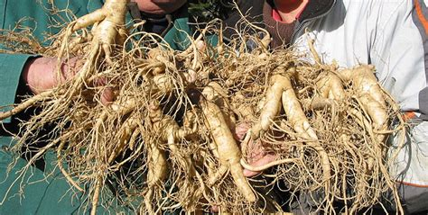 growing ginseng how to grow ginseng with pictures wikihow