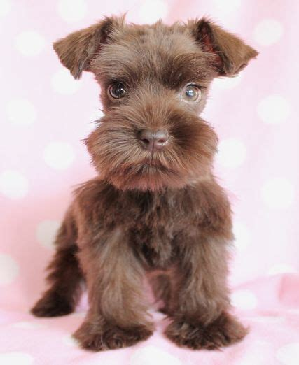 brown schnauzer puppies for sale mini schnauzer puppy the beard is it brown i ve never seen a brown miniature