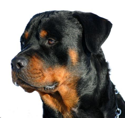 rottweiler attacks child rottweiler attack in pennsylvania settles for 130 000