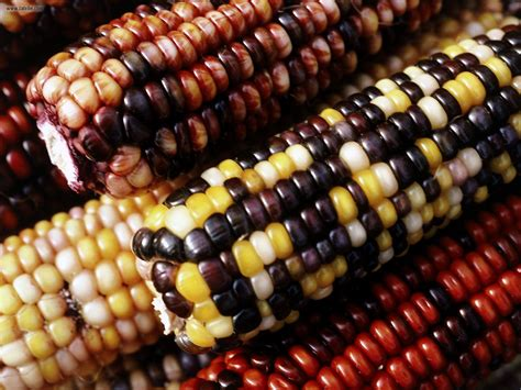 colorful corn miscellaneous colorful corn picture nr 19584