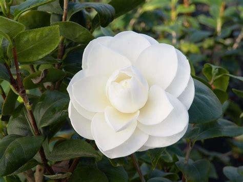 Gardenia Japonica Camellia Japonica O Camelia 250 N De Jardiner 237 A