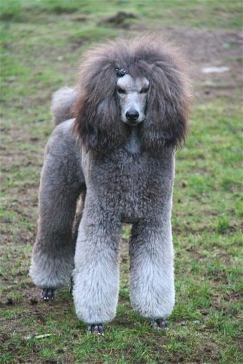 standard poodle grooming styles 43 best french poodle images on pinterest poodles