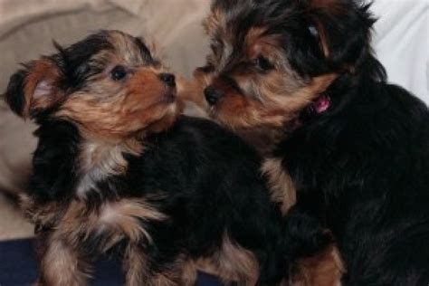 terrier puppies for free charming terrier puppies for free adoption offer