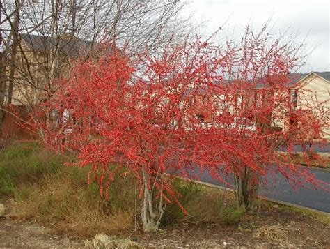 what deciduous tree has berries in winter small trees for big impacts east gardening