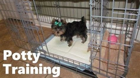 yorkie potty tips 32 best yorkie puppies images on yorkie puppies puppies and yorkie