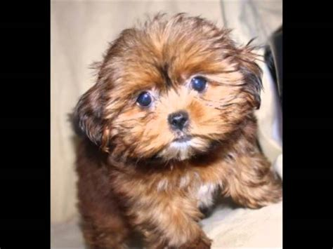 snorkie puppies a shorkie puppy grow