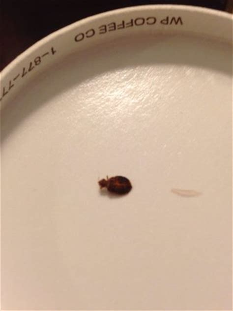 dead bed bug images found this dead adult bed bug picture of wyndham grand pittsburgh downtown