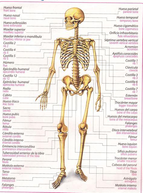 imagenes realistas del cuerpo humano 206 huesos del cuerpo humano related keywords 206 huesos
