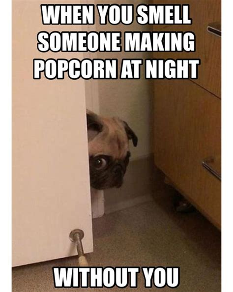 can pugs eat popcorn pug it s popcorn time oh there marking it without me popcorn here i come dogs